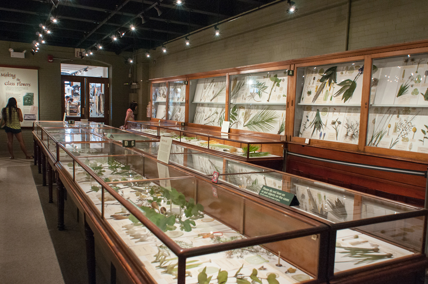 Glass flower exhibit at Harvard Museum of Natural History
