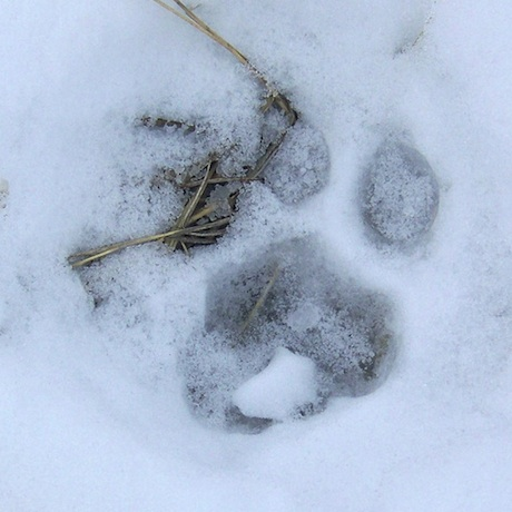 Winchester Resident Reports Seeing a Mountain Lion