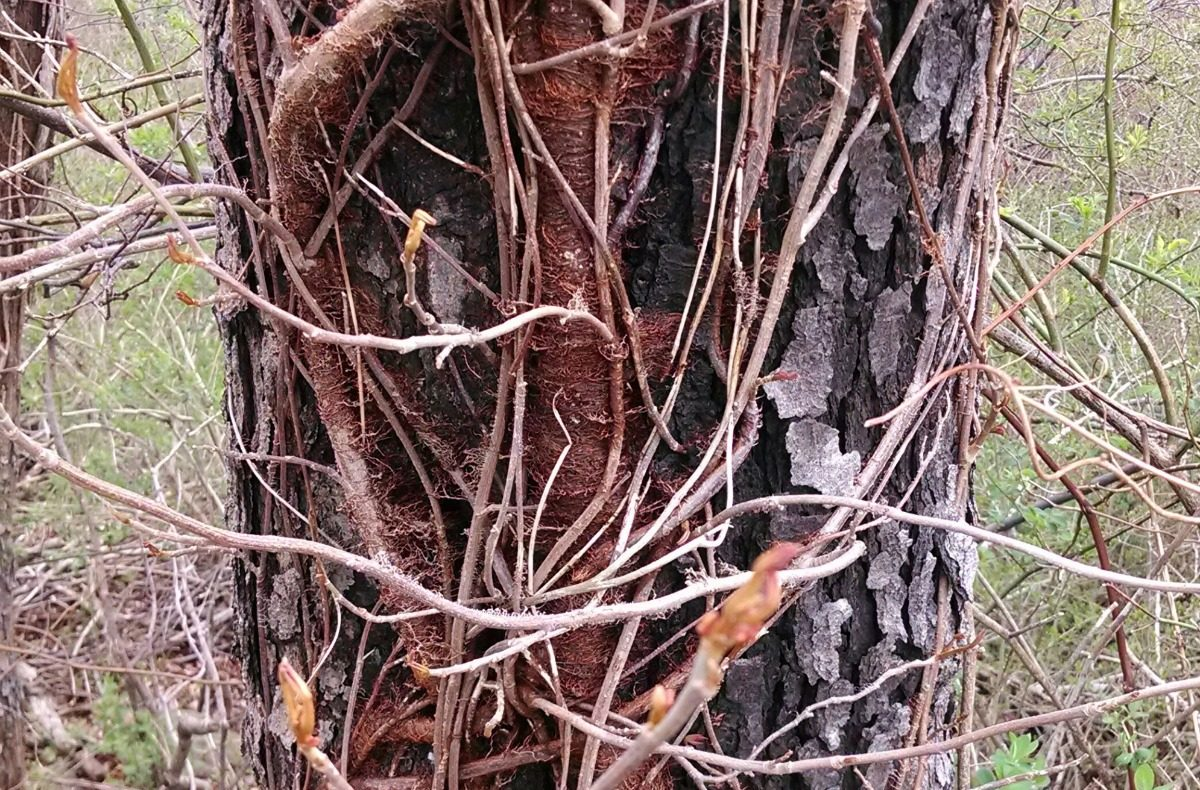 This Is What Poison Ivy Looks Like - photo#15