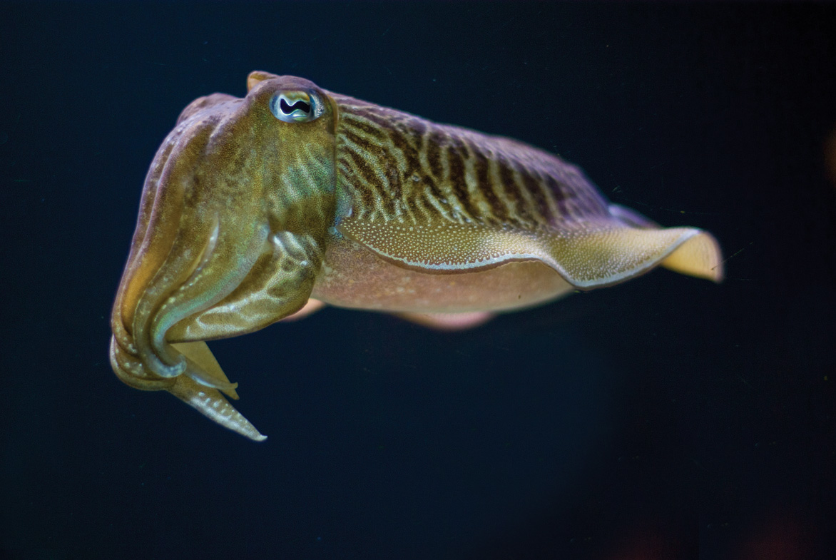cute cuttle fish