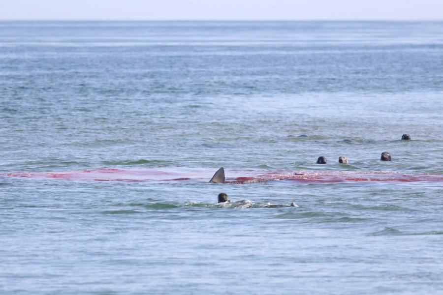 seal shark provincetown