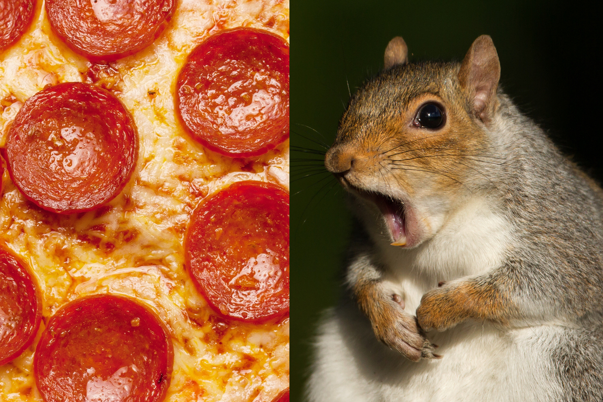 Pizza Eating Squirrel Spotted In