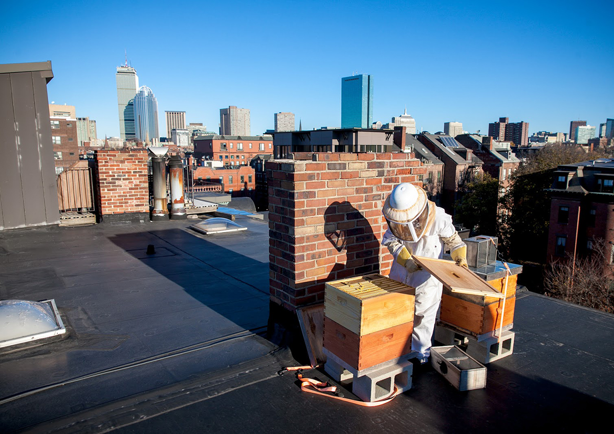 urban beekeeping taj hotel boston best bees
