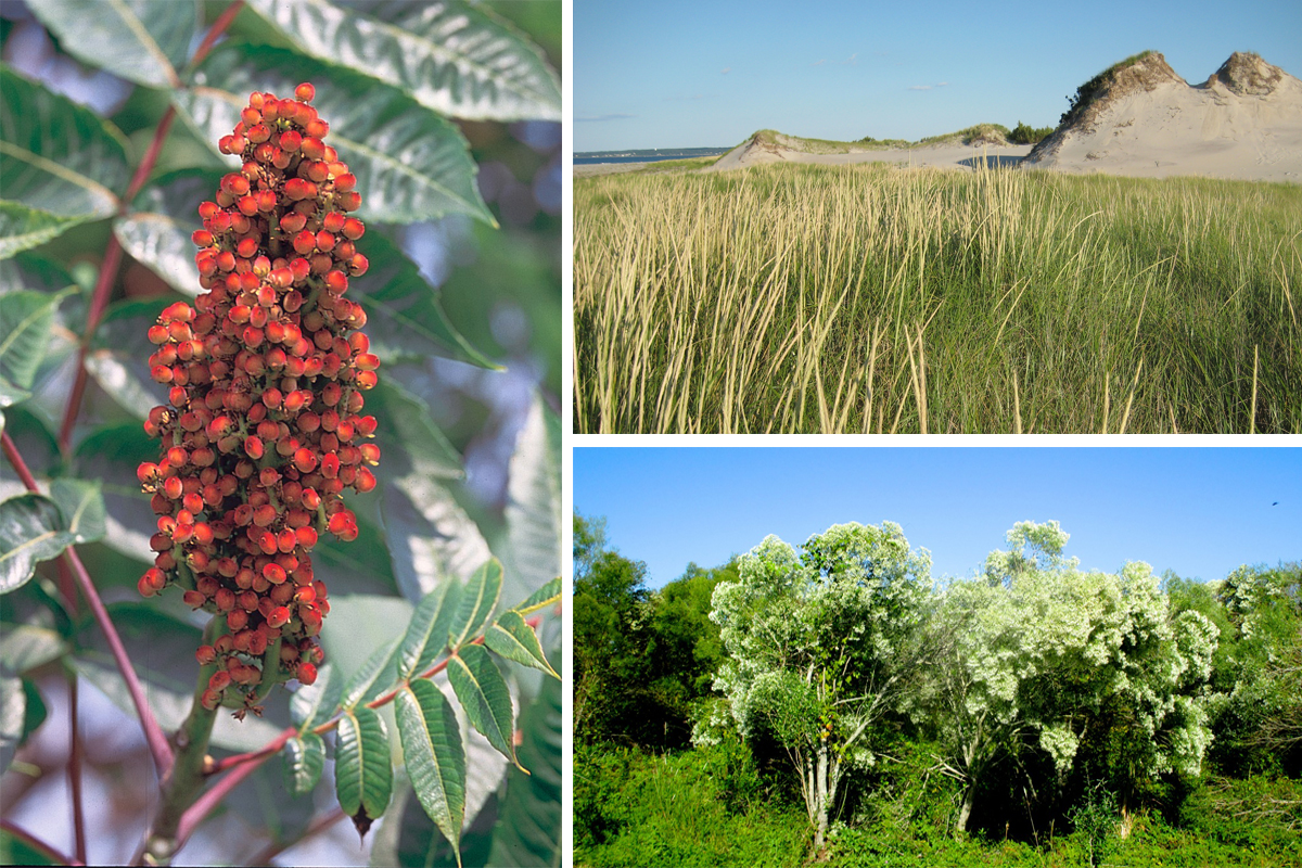 From left to right: Sumac photo via Wikimedia/Creative Commons, Crane Beach little bluestem photo via Flickr/Creative Commons, Groundsel bush photo via Flickr/Creative Commons