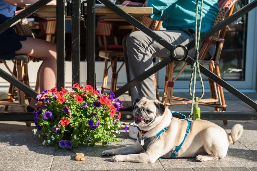 A pug sits on the terrace at Bar Boulud Boston