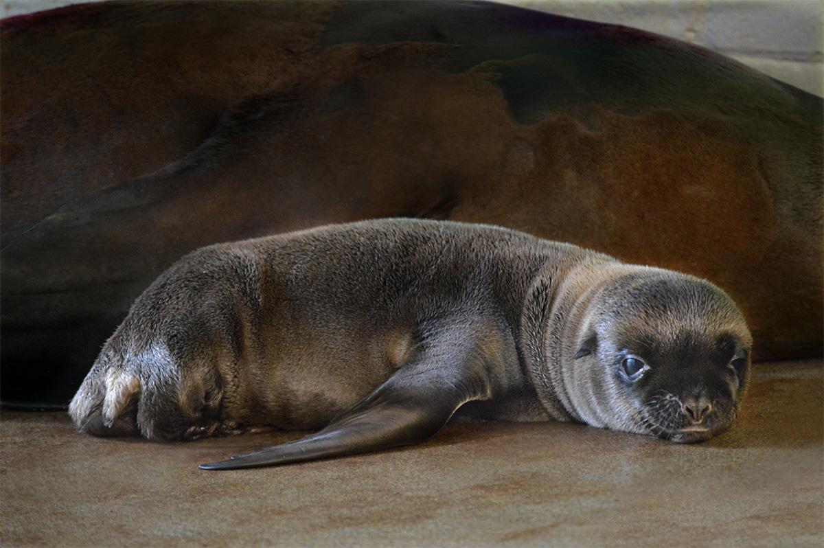Ron sea lion New England Aquarium
