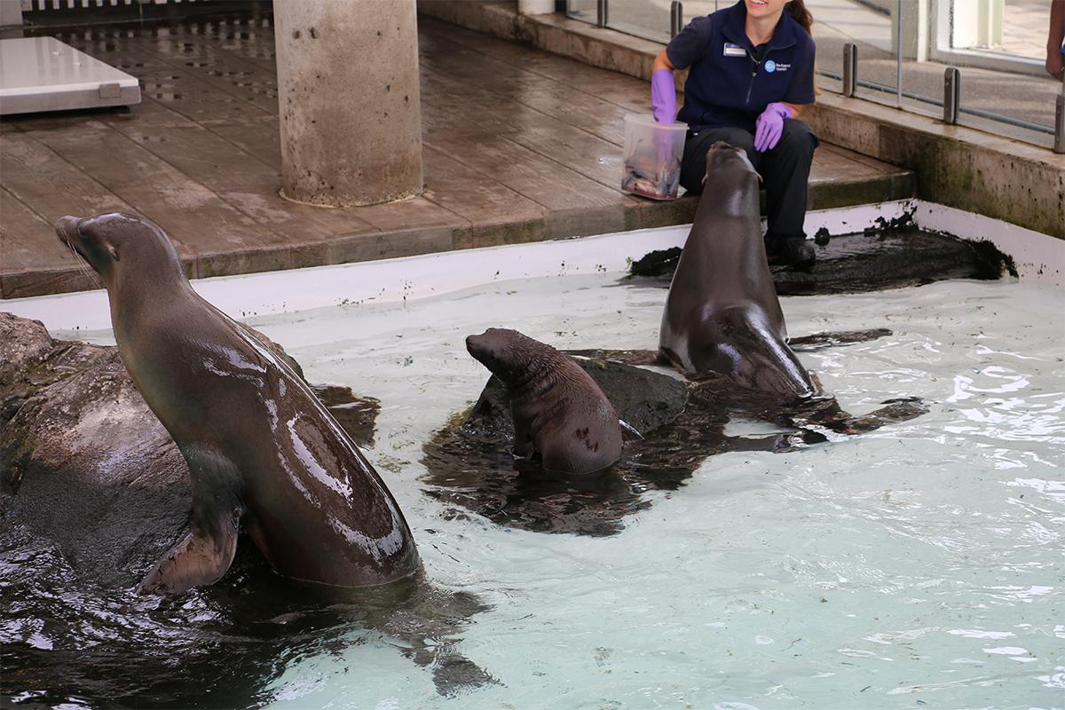 ron sea lions