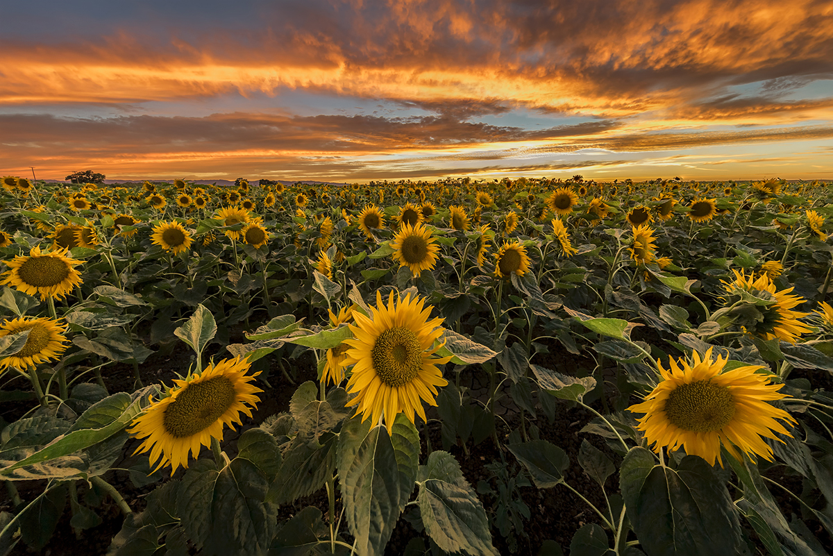 Five sunflower fields to visit in new england mightylinksfo