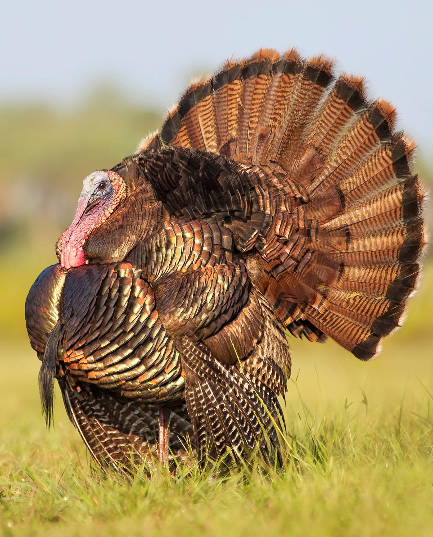 brookline turkeys
