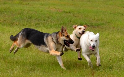 Three dogs run through the grass