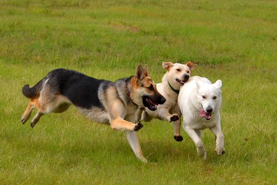 Three dogs run through the grass