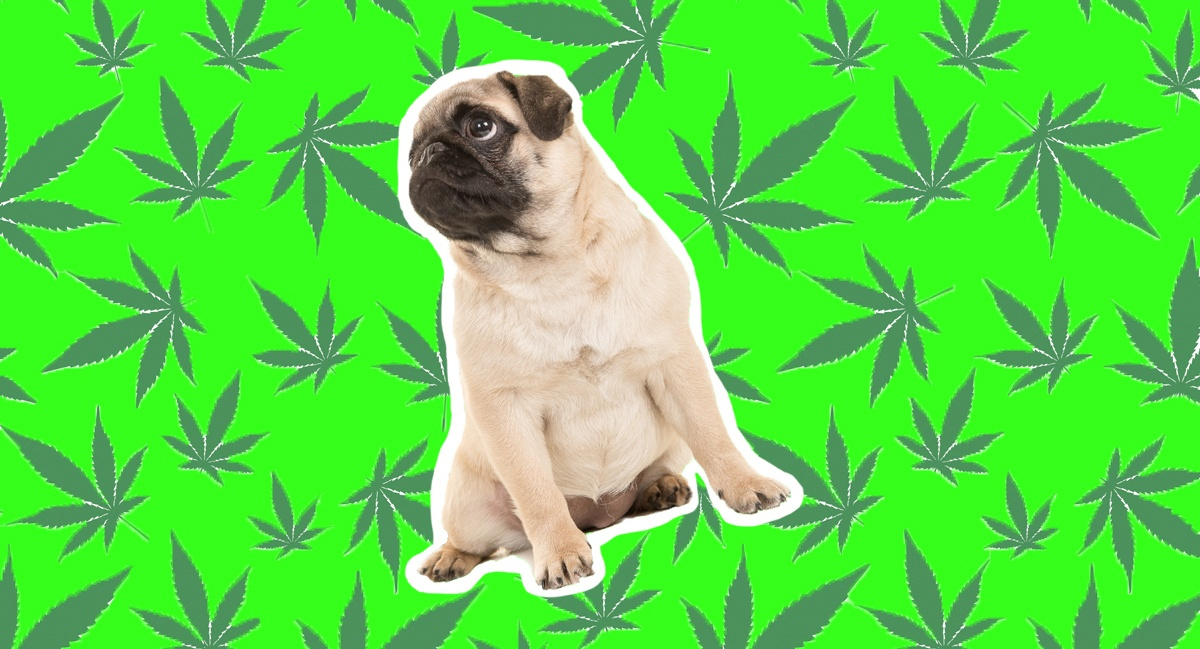 Should You Give Your Dog CBD? Boston Vets Disagree on How to