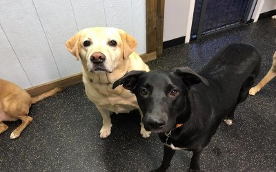 A yellow lab and a black dog