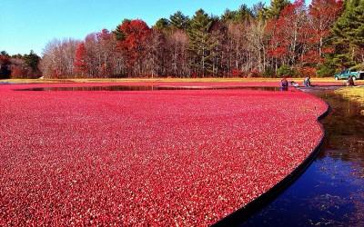 A cranberry bog