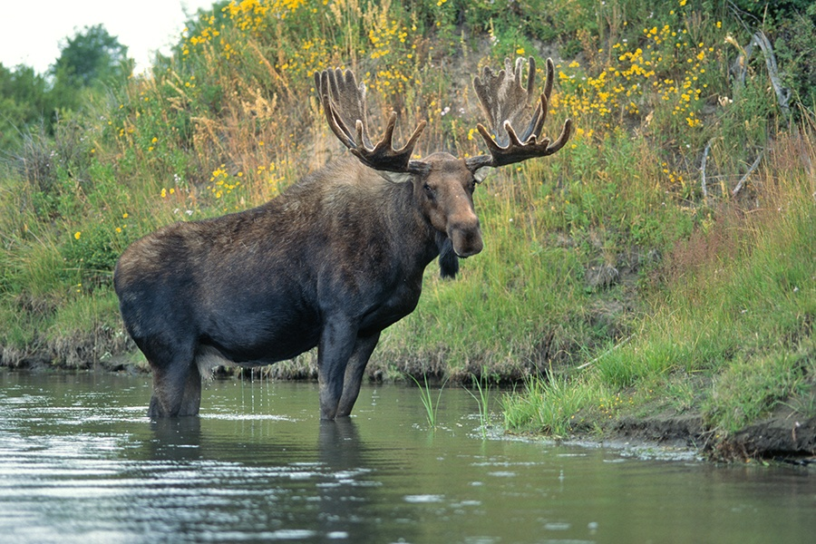 A Bull Moose stands in shallow water of Oxbow Bend in Grand Tetons National Park
