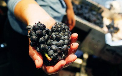 A winemaking employee holds a handful of Santa Barbara pinot noir grapes at City Winery Boston