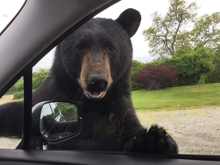 black bear rhode island