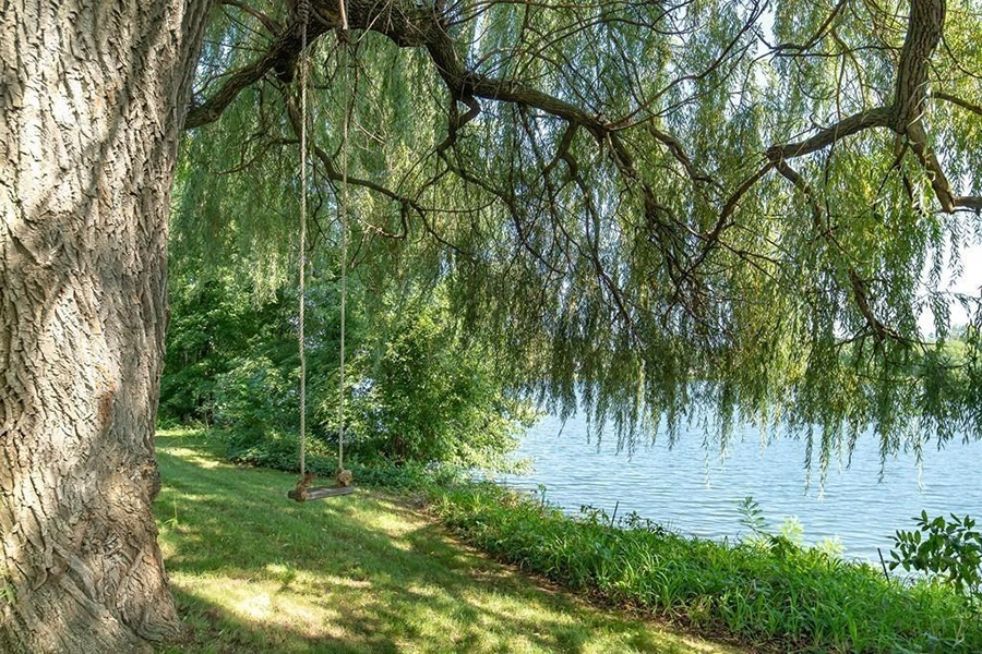 spy pond willow tree