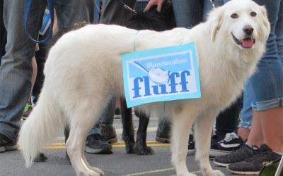 fluff festival dog