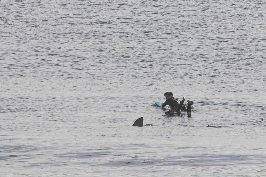shark surfer cape cod